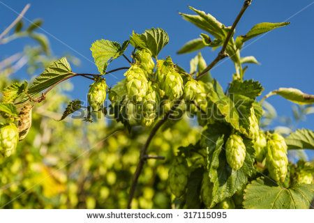 Cones so is commonly called a bar Flower (female flower) Humulus lupulus (common hop, hop)