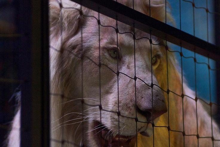 Lion Kasper
