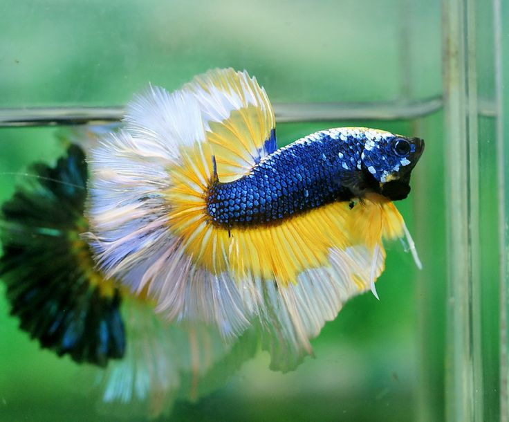 671 best images about sealife beta 39 s on pinterest for How much does a betta fish cost
