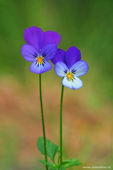 Driekleurig Viooltje (Viola Tricolor) natuurgebied het Goor, Bladel