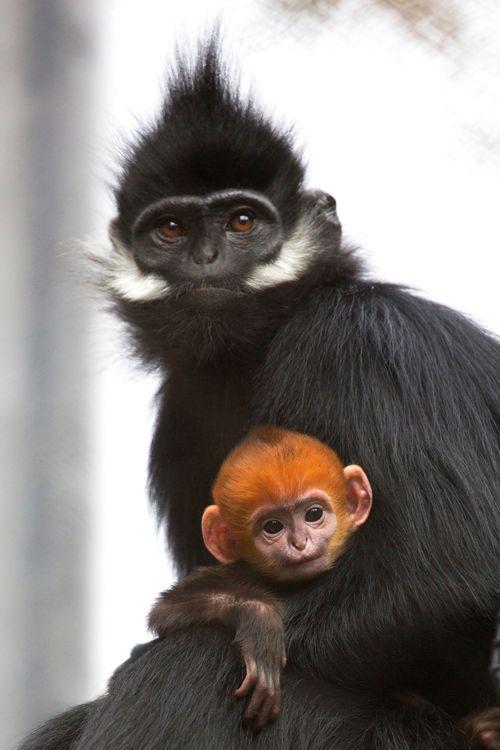 Langur Monkey babies are born bright orange