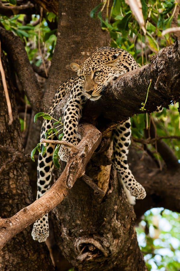 African Leopard by Michal Krause