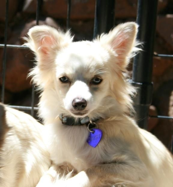 Meet Daisy, a Petfinder adoptable Chihuahua Dog   Penngrove, CA   Flower girls Rose, Lilly, Violet, Daisy, Pansy and Poppy. Six little arctic fox look alikes.  Poppy...