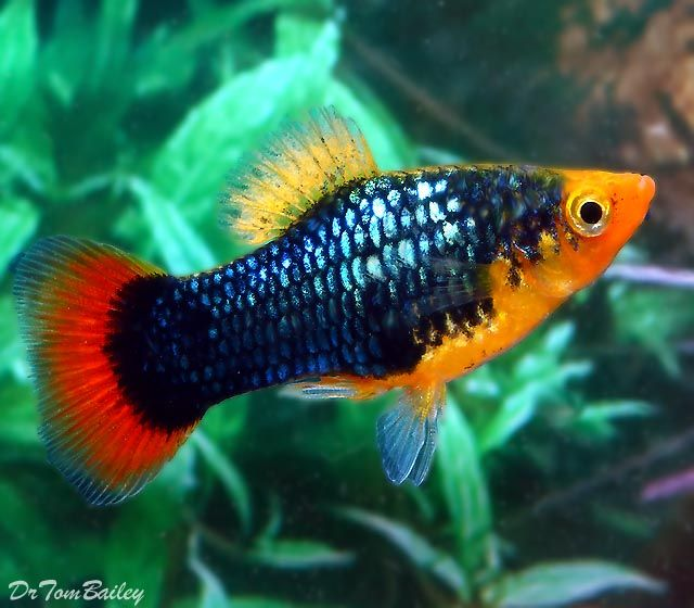 A beautiful male dark blue metallic platy with red-ish coloration on the backside and head