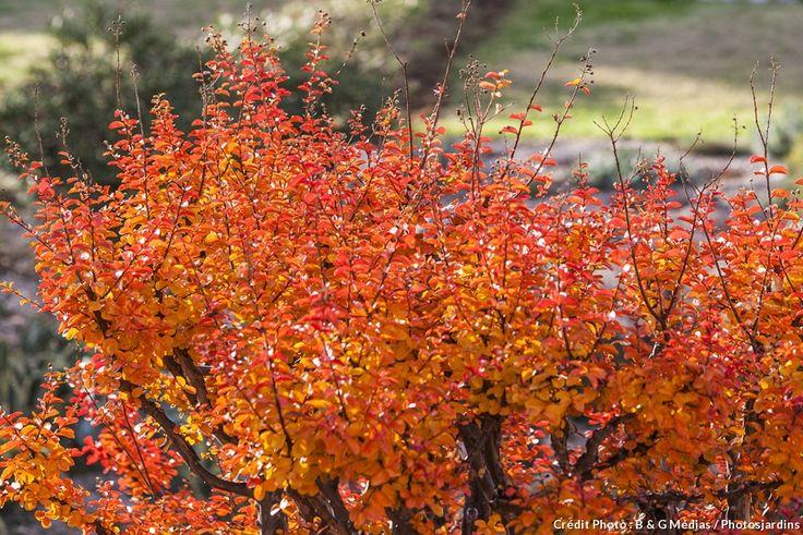 Les feuillages les plus beaux à l'automne sont: 1. Le fusain ailé (Euonymus alatus), 2. La lagerstroemia ou lilas des Indes; 3. Le citronnier de jardin tortueux (Poncirus 'Flying Dragon') 4. Le cornouiller de Sibérie (Cornus sibirica)