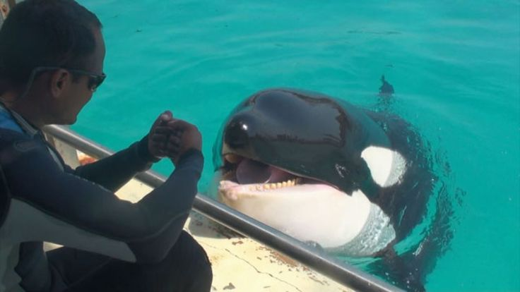 Scientists teach killer whale to mimic human words like 'hello'