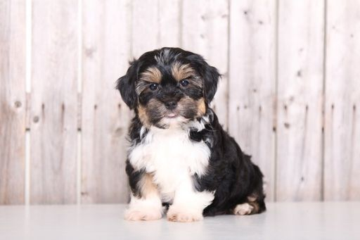 Shorkie Tzu puppy for sale in MOUNT VERNON, OH. ADN-27567 on PuppyFinder.com Gender: Male. Age: 9 Weeks Old