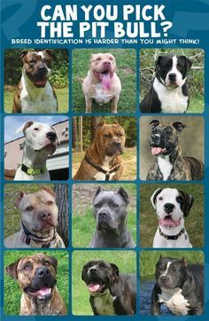 left to right, top to bottom: 1. American Bulldog 2. American Allaunt 3. Alapha Blue Blood Bulldog 4. Dogo Argentino 5. Presa Canario 6. Ca do Bou 7. American Pit Bull Terrier 8. Cane Corso 9. Boxer 10. American Bandogge 11. Olde English Bulldog 12. American Bully. BSL is not a solution, it is a problem... It is wrong, and innocent animals die because of it.