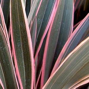 PHORMIUM 'Pink Stripe' : Tous les arbustes