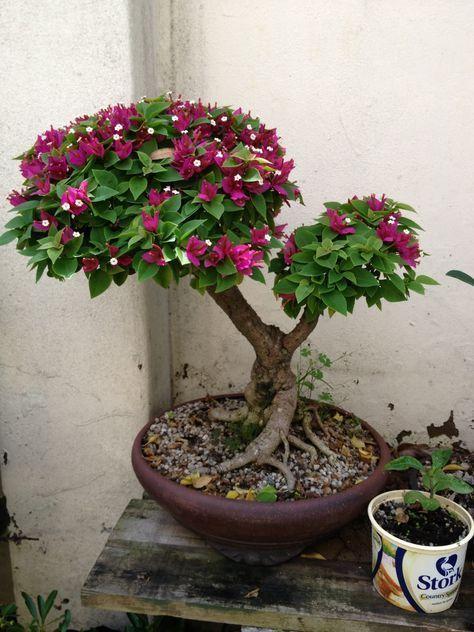 Bouganvilla ~ #bonsai Tree #bonsaitrees