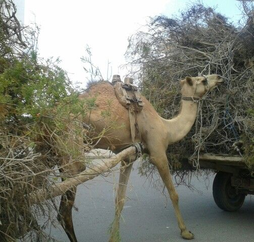 just a camel walking in the street. nbd.