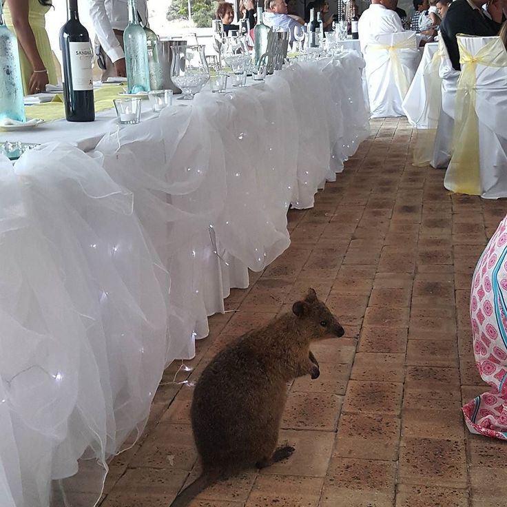 You know your in #rottnest when a #quokka joins the party! #rottnestisland #wedding #wa #westernaustralia #waisok #perthisok #thewestwins by globetrottinggrommets http://ift.tt/1L5GqLp