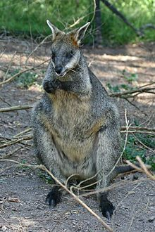 Swamp-Wallaby-Feeding-3,-Vic,-Jan.2008.jpg