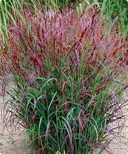 Red Switch Grass (panicum) 4-5ft tall. Full sun.