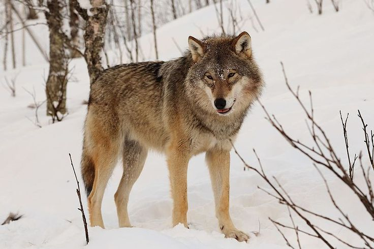 Don't Slaughter Two-Thirds of Norway's Wolves