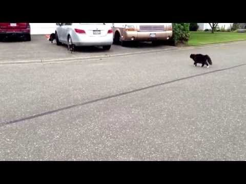 Officially...Archangel641's Blog: Epic Cat chases Dog!!