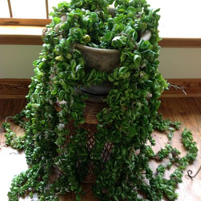 Hoya carnosa compacta aka hindu rope