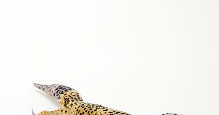 ¿Cuál es la diferencia entre lagartos y geckos?. Un gecko es un lagarto. Al igual que una lagartija, tiene piel escamosa, pulmones, respira aire y pone huevos. Hay alrededor de 800 especies de geckos que se dividen en diplodactylinae, gekkoninae, sphaerodactylinae y eublepharinae, siendo la gekkoninae la familia más grande, con cerca de 550 especies. Son dóciles hacia los seres humanos y son ...