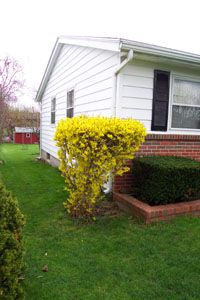 How to Grow and Care for Forsythia Bush Gardener's Network