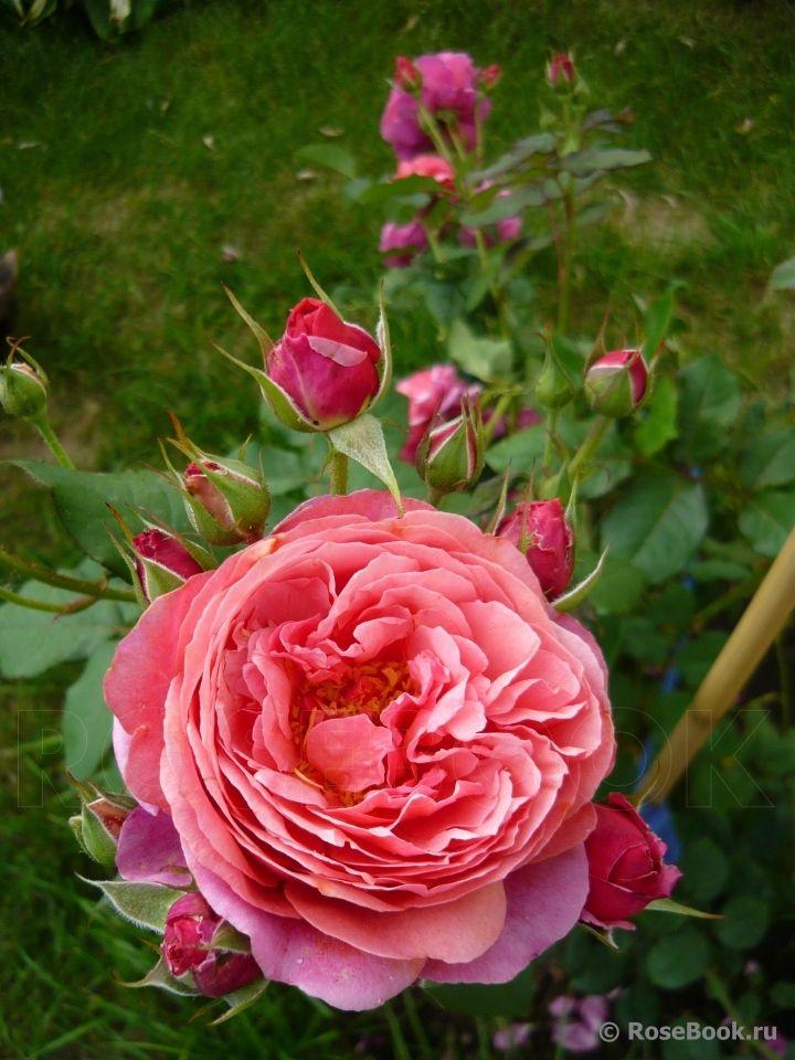 Rose 'Laduree ®'