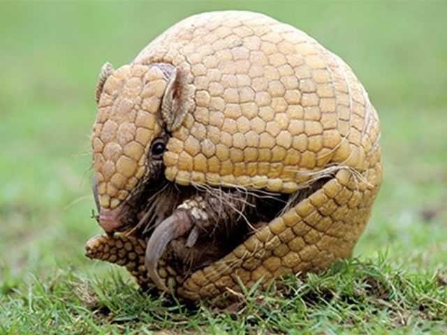 Tatu-bola em extinção no Brasil