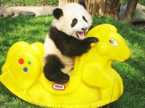 #cute #panda
