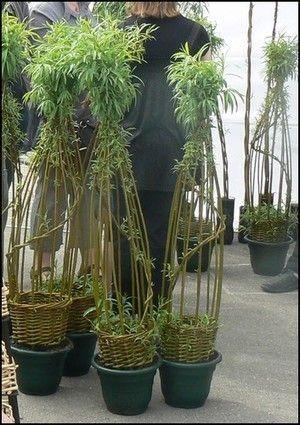 osier vivant - living willow