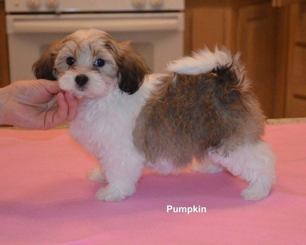 Oeste Havanese - Puppies