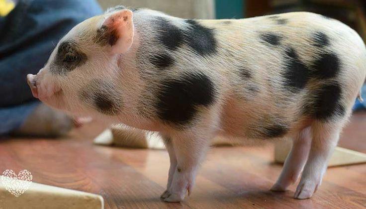 Juliana Pigs Юлианские свиньи – это маленькие хрюшки родом из Европы. Порода появилась благодаря тщательной селективной работе. Второе название юлианских свиней – миниатюрные цветные свиньи. Отличительная особенность этой породы – маленькие пятна. У юлианских свиней, в отличие от вьетнамских вислобрюхих собратьев, отсутствует провислость спины и большой живот, а рыло должно быть удлиненным. Однако главным достоинством этих хрюшек является темперамент