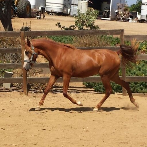 Bela lua do Hong dynesty aka tinkebell, Mangalarga Marchador filly owned by Kendall Melline of Proven Spots Ranch
