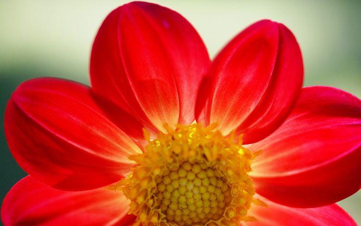 Google Image Result for http://www.fabiovisentin.com/photography/photo/9/red-daisy-dsc03908.jpg