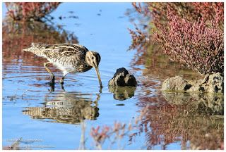 Birdwatching and Photography - Refuge LPO: Bécassine des marais Gallinago gallinago Common Sn...
