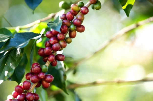 Download Coffee Bean Berry Ripening On Coffee Farm For Free Coffee Farm Berries Coffee Beans