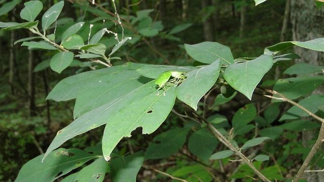 Mating shield bugs #cincymuseum #cincyedge #bugs #shieldbugs
