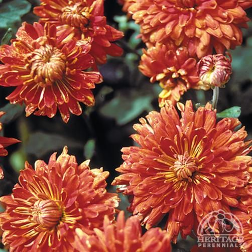 Chrysanthemum. Border edge. Full sun. These should be towards front of border in full sun. Move back after flowering. Would look nice in front of a purple flower. Perennial. H3.  Spread: 10-50cm