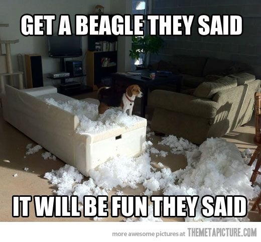 I don't own a beagle, so I'm not sure how accurate this is. If it is true... no beagles for me.