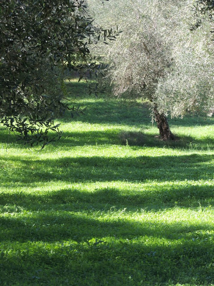 Olive grove in the afternoon
