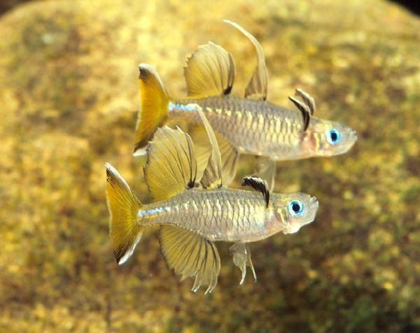 1354 best images about freshwater fish on pinterest neon for Peaceful freshwater fish