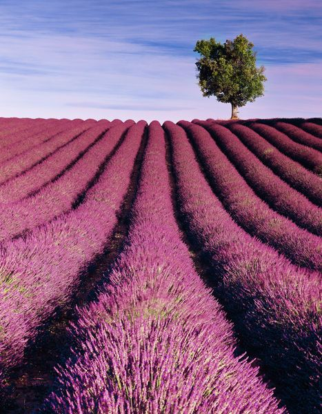 I once went to a Lavender Farm in the south of France when i was little, i had the most intense tasting lavender ice cream...it tasted how it smelt...divine