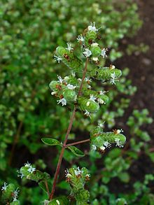Sweet Marjoram (Origanum majorana) has it's own set of unique health benefits. Delicious and delicate sweet marjoram is the perfect complement to vegetable dishes and soups, as well as pork and chicken. It is also a powerfully anti-microbial herb and digestive aid. As with many other leafy green herbs, sweet marjoram is packed with nutrients and anti-oxidants like vitamins A, C, and K, iron, potassium, calcium, zinc, magnesium and manganese.