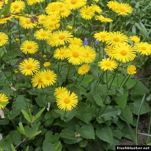 Gemswurz (Doronicum orientale) Pflege