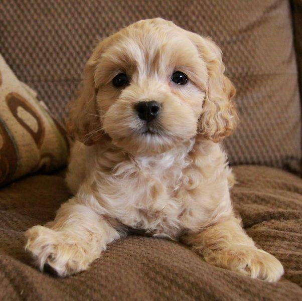 Cockapoo Puppies - Google Keress  Kutya-8932