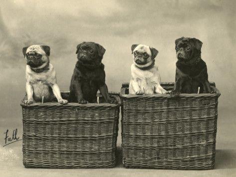 Pug 1926 Photographic PrintPugs Pets, 1926 Photographers, Vintage Pugs, Baskets Cases, Pugs Naci, Pugs Pugs, Pugs 1926, Photographers Prints, Animal