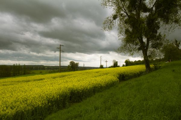 Yellow coleseed fields in bright contrast with a thunderstorm.  #photo Harmke Paulides