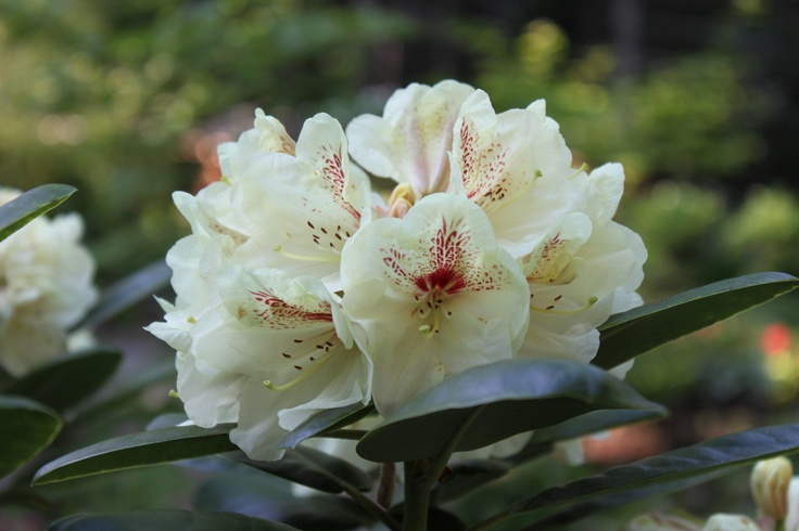Rhododendron 'Goldbucket' - creamy pale yellow with a dark red blotch and great foliage.  Blooms May