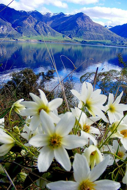 Wildflowers growing on the shores of Lake Wakatipu ~ near Queenstown, New Zealand
