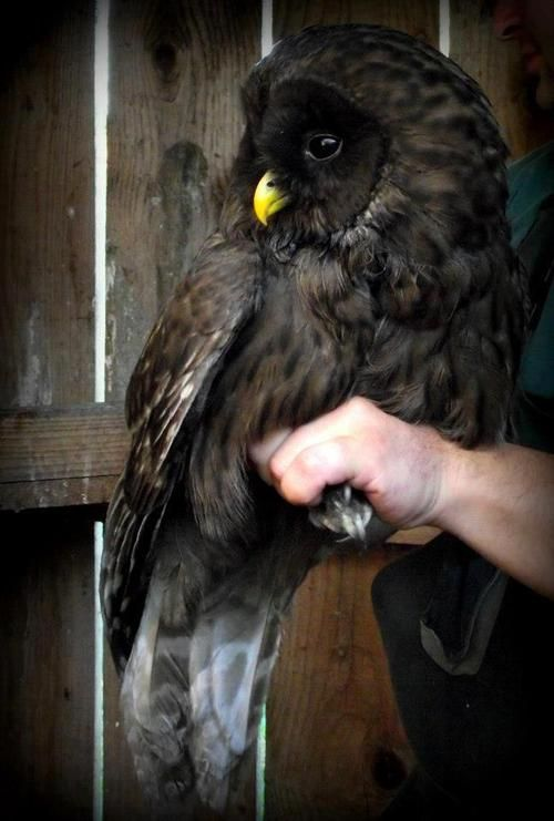 Melanistic Ural Owl. Melanism is the opposite of albinism.