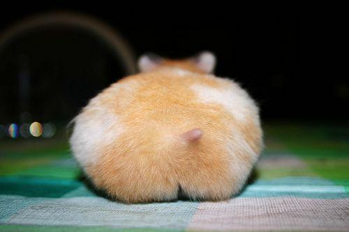 hamster butt!