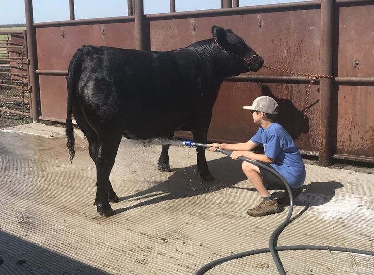 Show Cattle Daily Hair Care Tips and Techniques