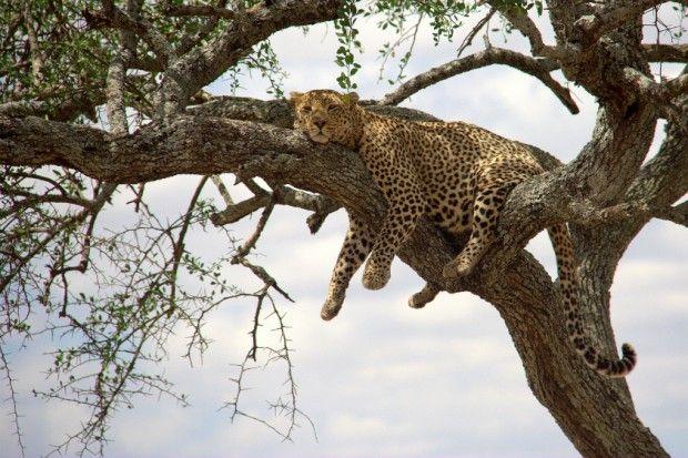 Um dos animais mais furtivos da África, o leopardo  (Panthera pardus) anda em seu habitat como um fantasma. Sua população é maior que o dobro das populações de leões e guepardos juntas. No entanto, é muito mais difícil ver um leopardo em um safári do que qualquer outro grande felino. A conversão de seu habitat em plantações e pasto, a retaliação de fazendeiros que querem proteger seus rebanhos e a competição com humanos por presas fazem com que a população da espécie siga diminuindo. Status…